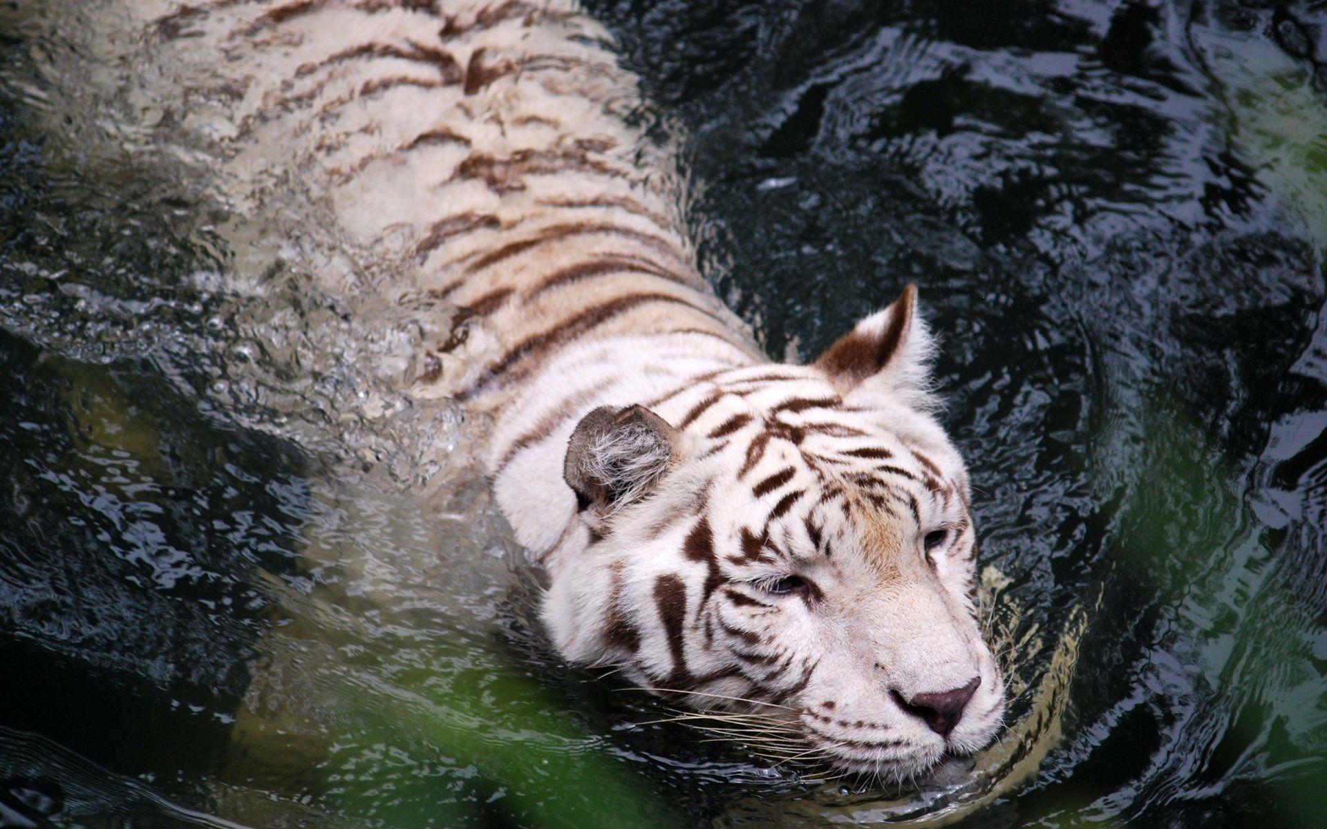 White Tiger swimming, Good Wallpaper