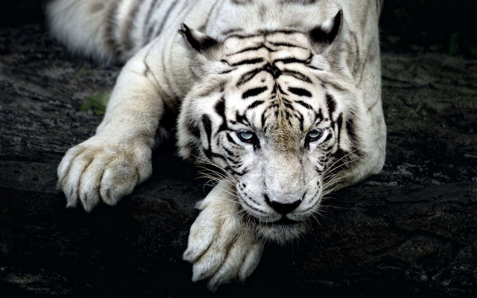 White Tiger, HD Wallpaper 1080