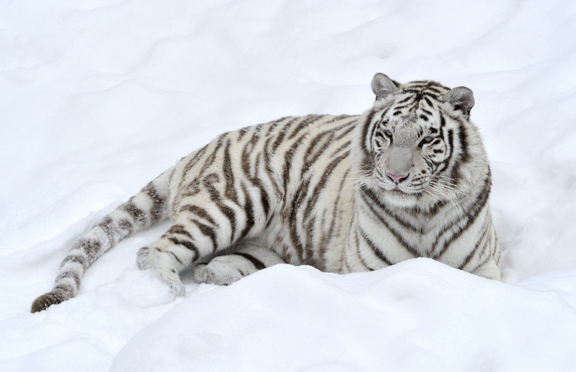 White Tiger lies on the snow, Wallpaper