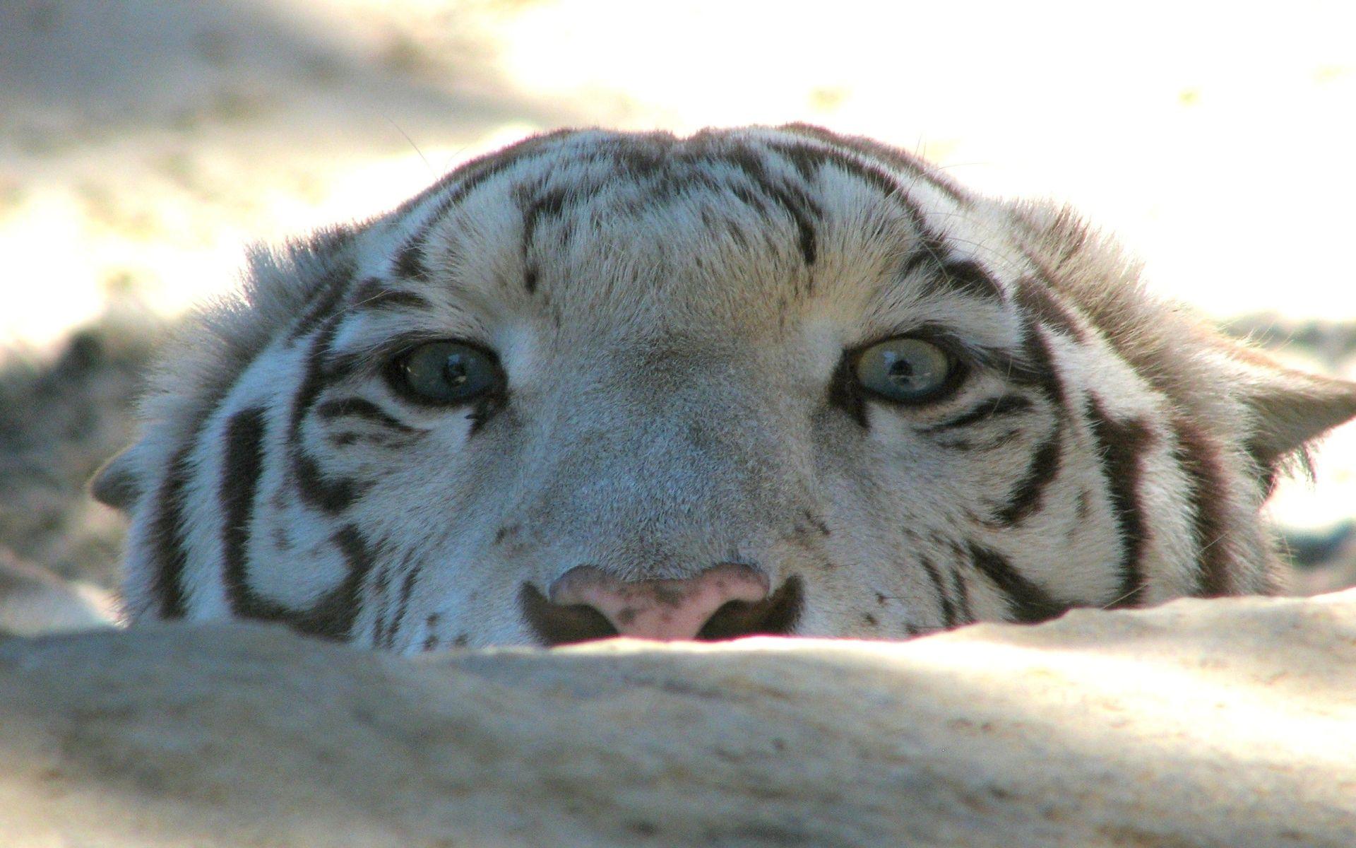 White Tiger looks out of ambush, Cool HD Wallpaper