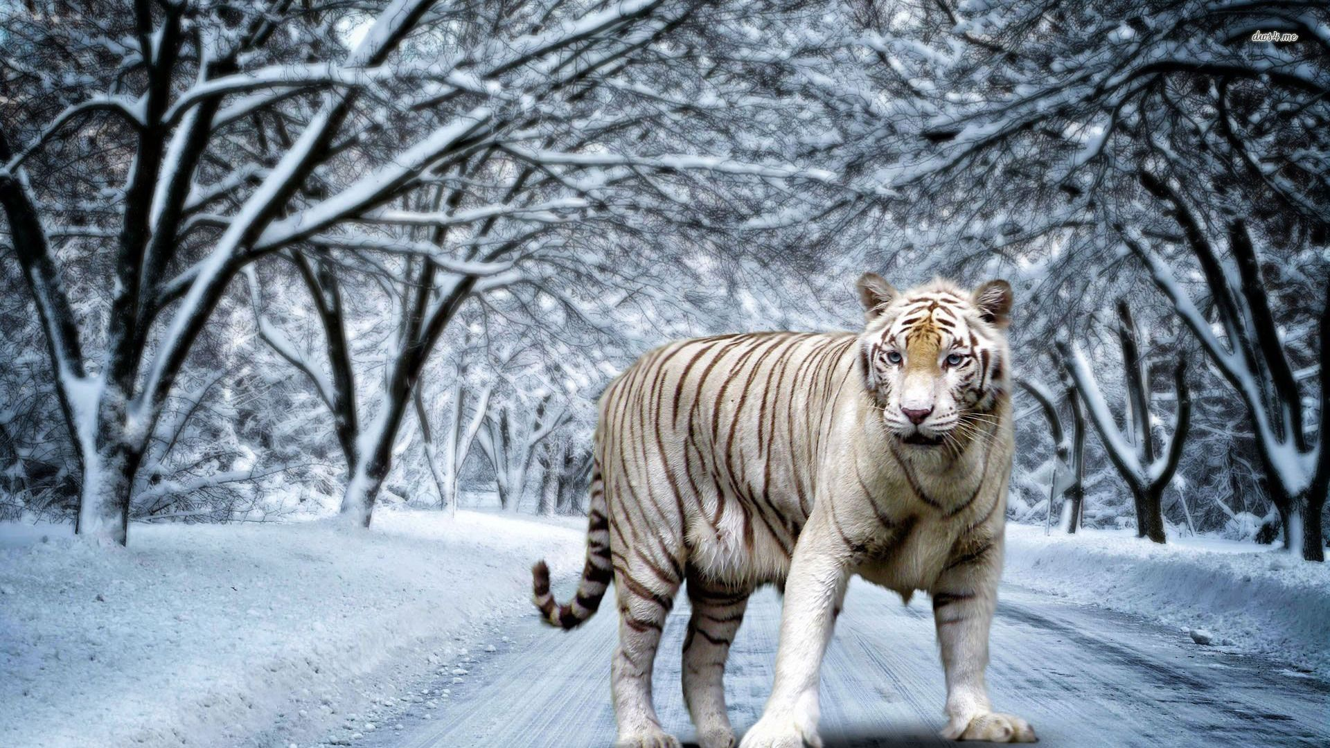 White Tiger posing on a snowy background, Wallpaper