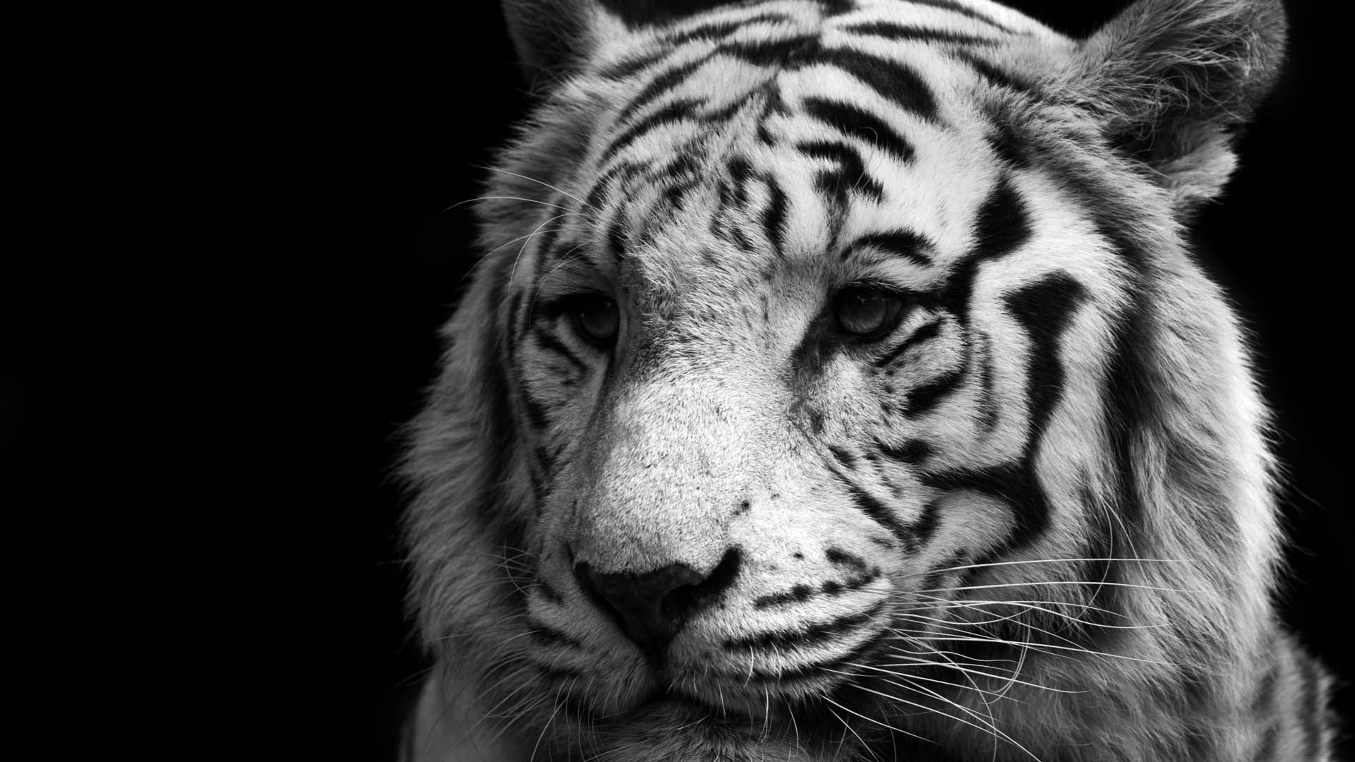 White Tiger Face, Free Desktop Wallpaper