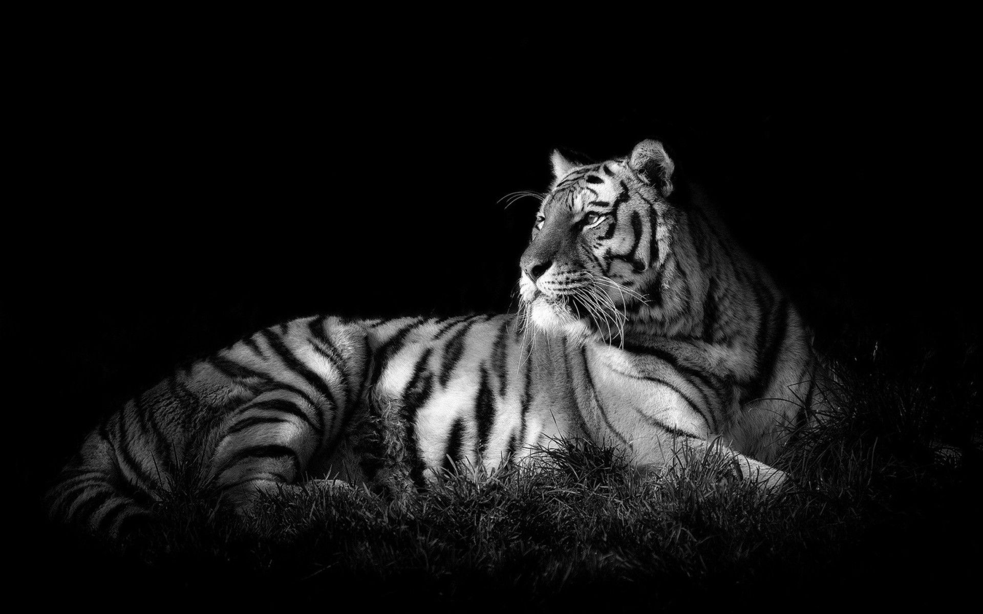 White Tiger looks into the distance, Wallpaper Theme