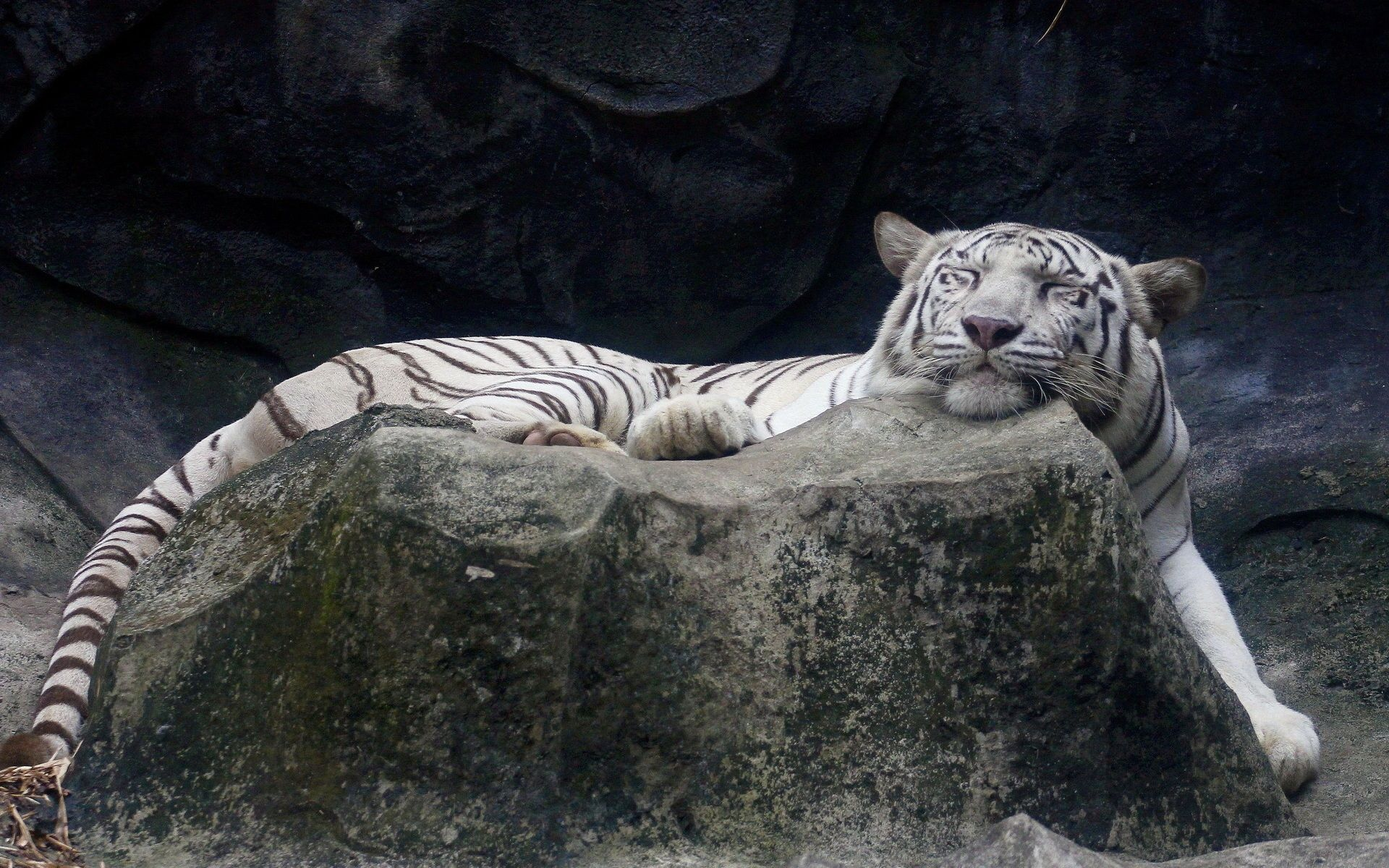 White Tiger is sleeping, Background Wallpaper HD