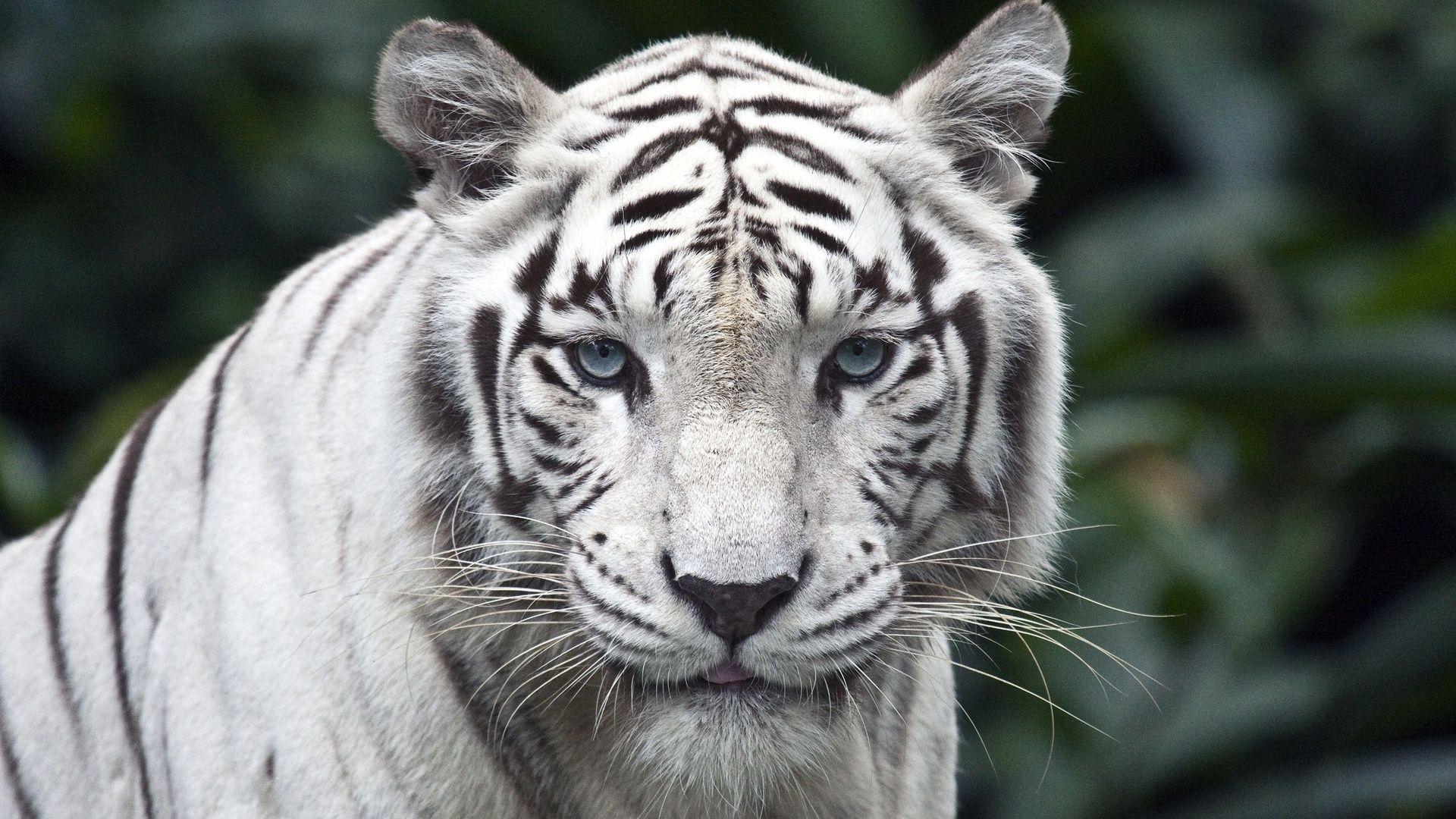 White Tiger watching, Wallpaper Theme