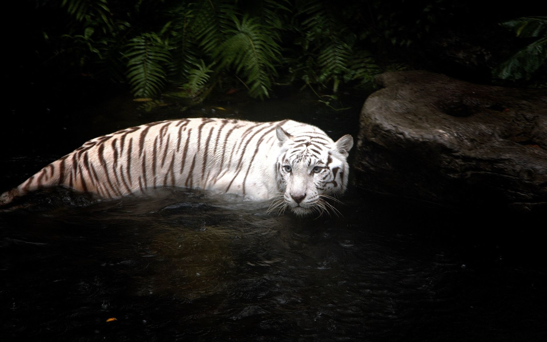 White Tiger stands in water, Image