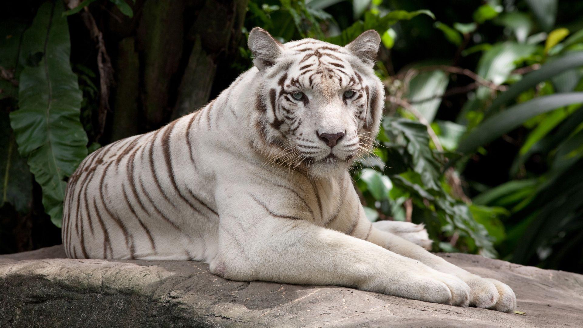 White Tiger, HD Desktop Wallpaper