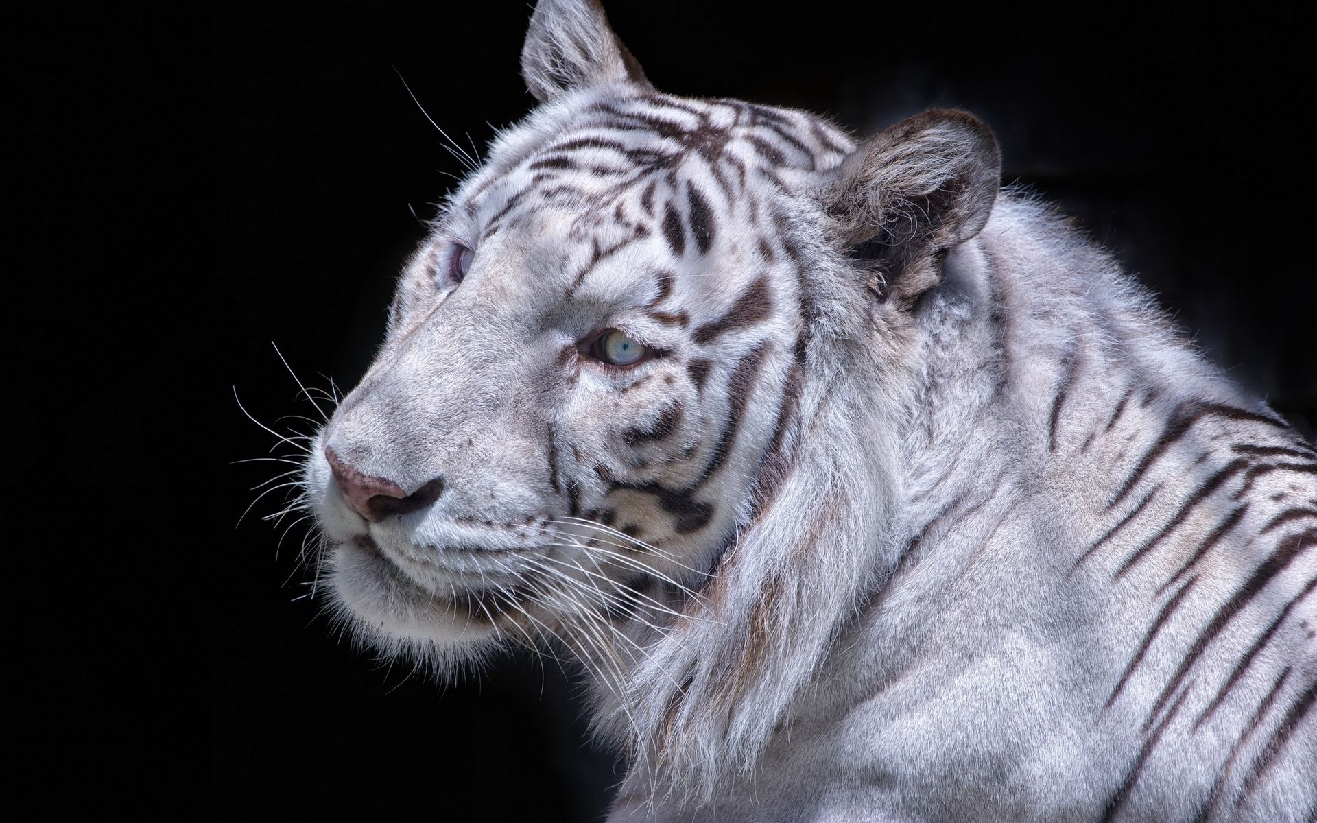 White Tiger, Pic