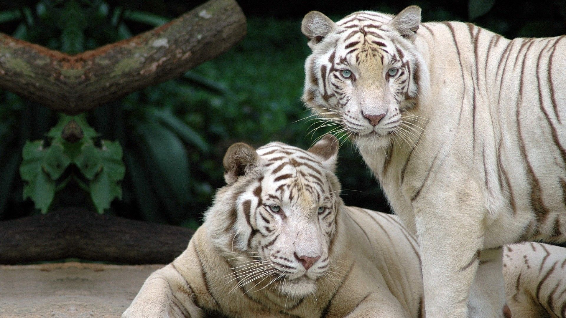 Two White Tigers, Wallpaper Image
