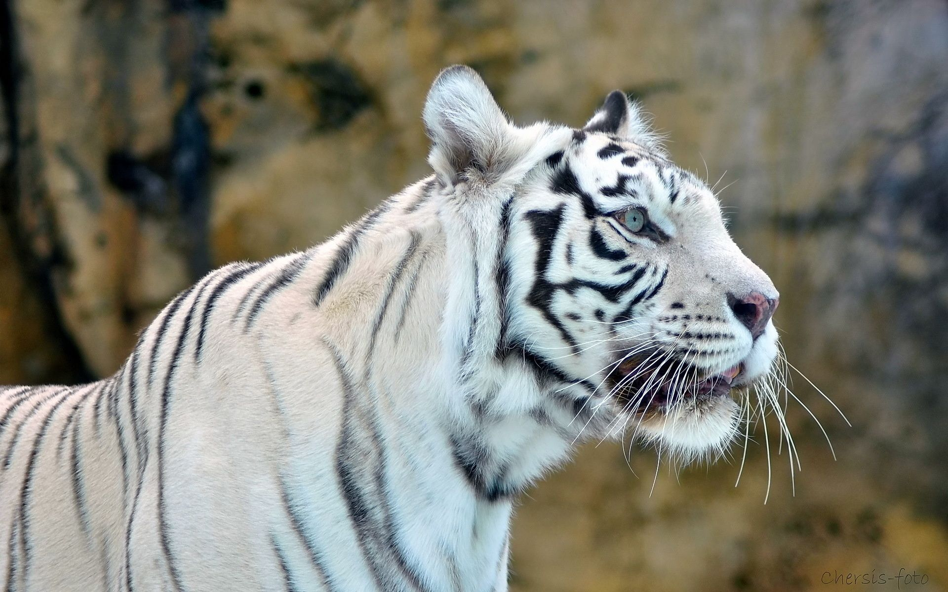 One White Tiger, Wallpaper and Background