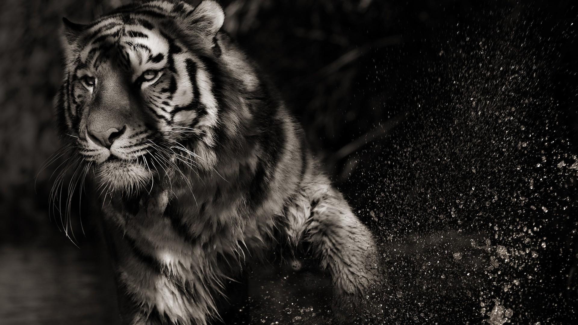 White Tiger, Best Wallpaper
