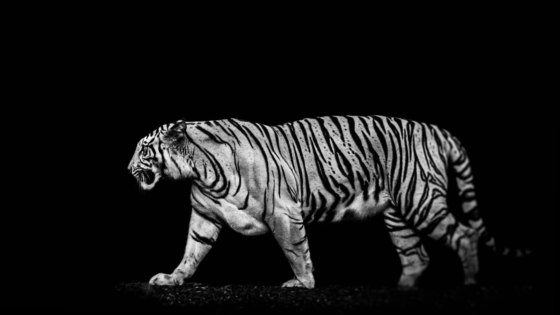 White Tiger Tiger is coming, full tiger in frame, Download Wallpaper