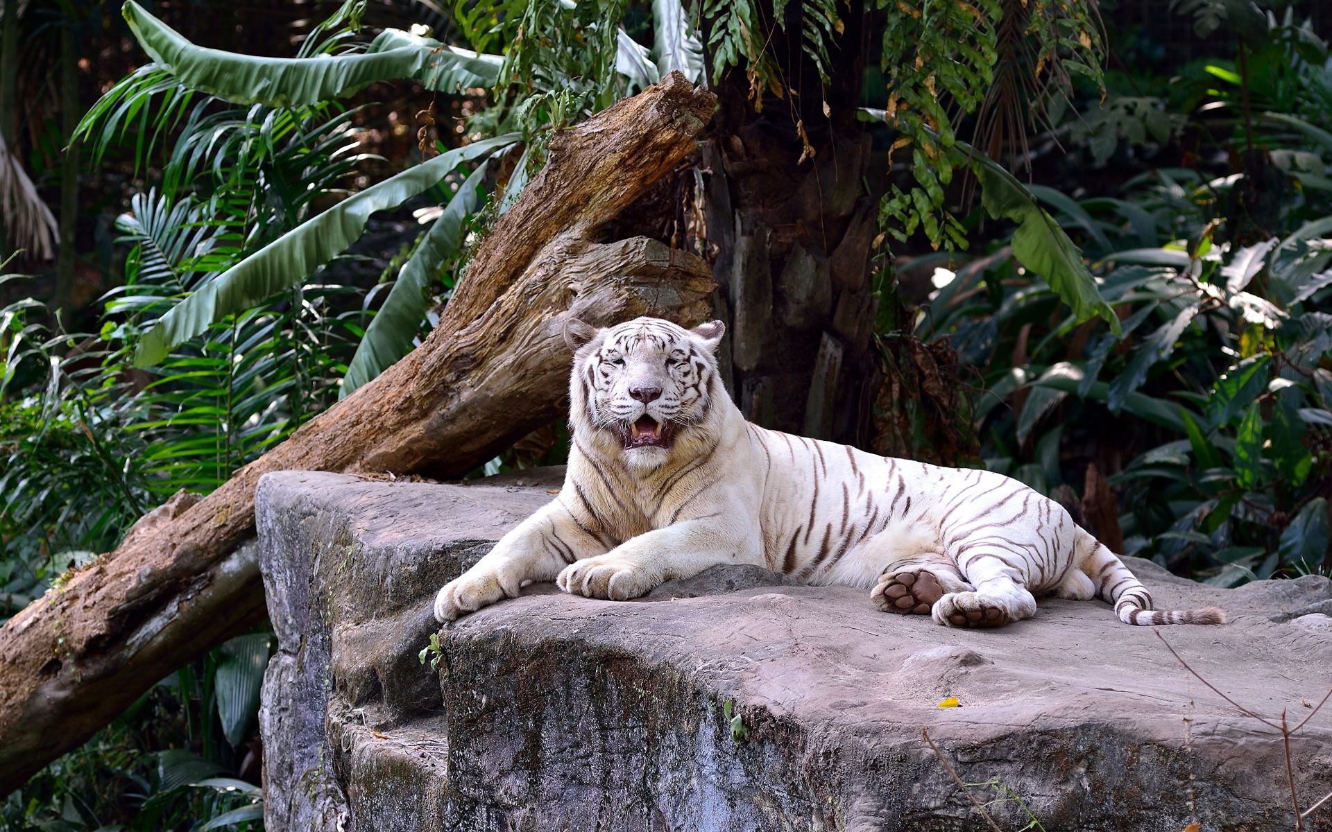 White Tiger resting on the stone, Best Wallpaper