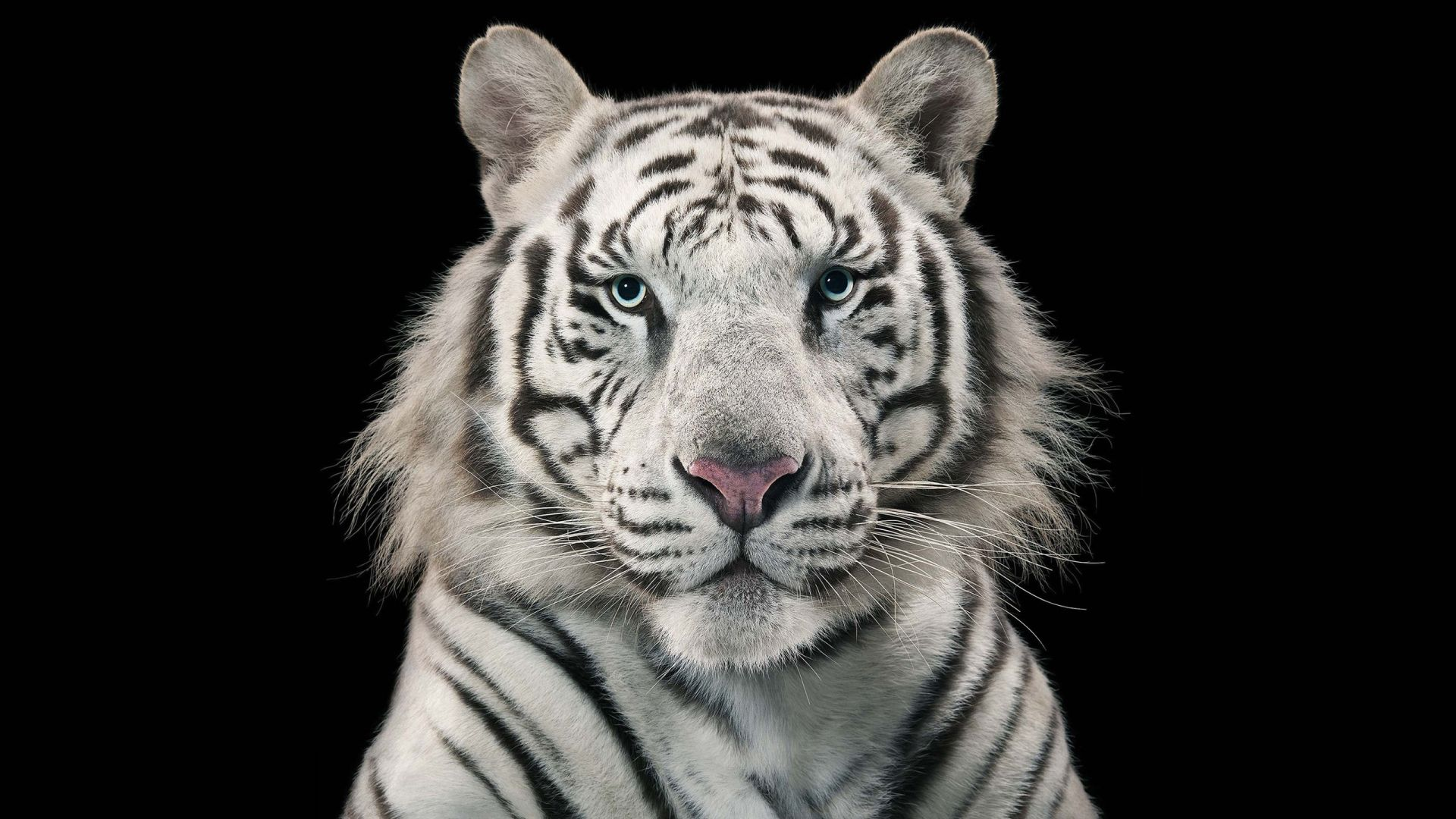 White Tiger Face, Background Wallpaper HD