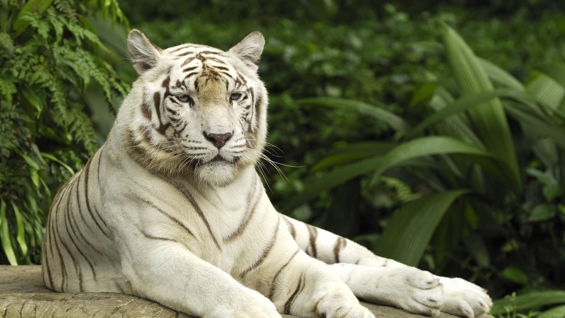 White Tiger Tiger likes to relax, Wallpaper Theme