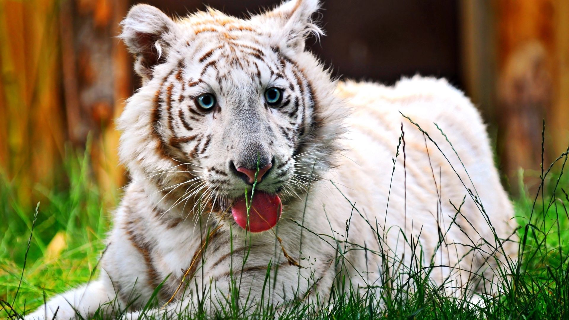 White Tiger Tiger likes to relax, Wallpaper
