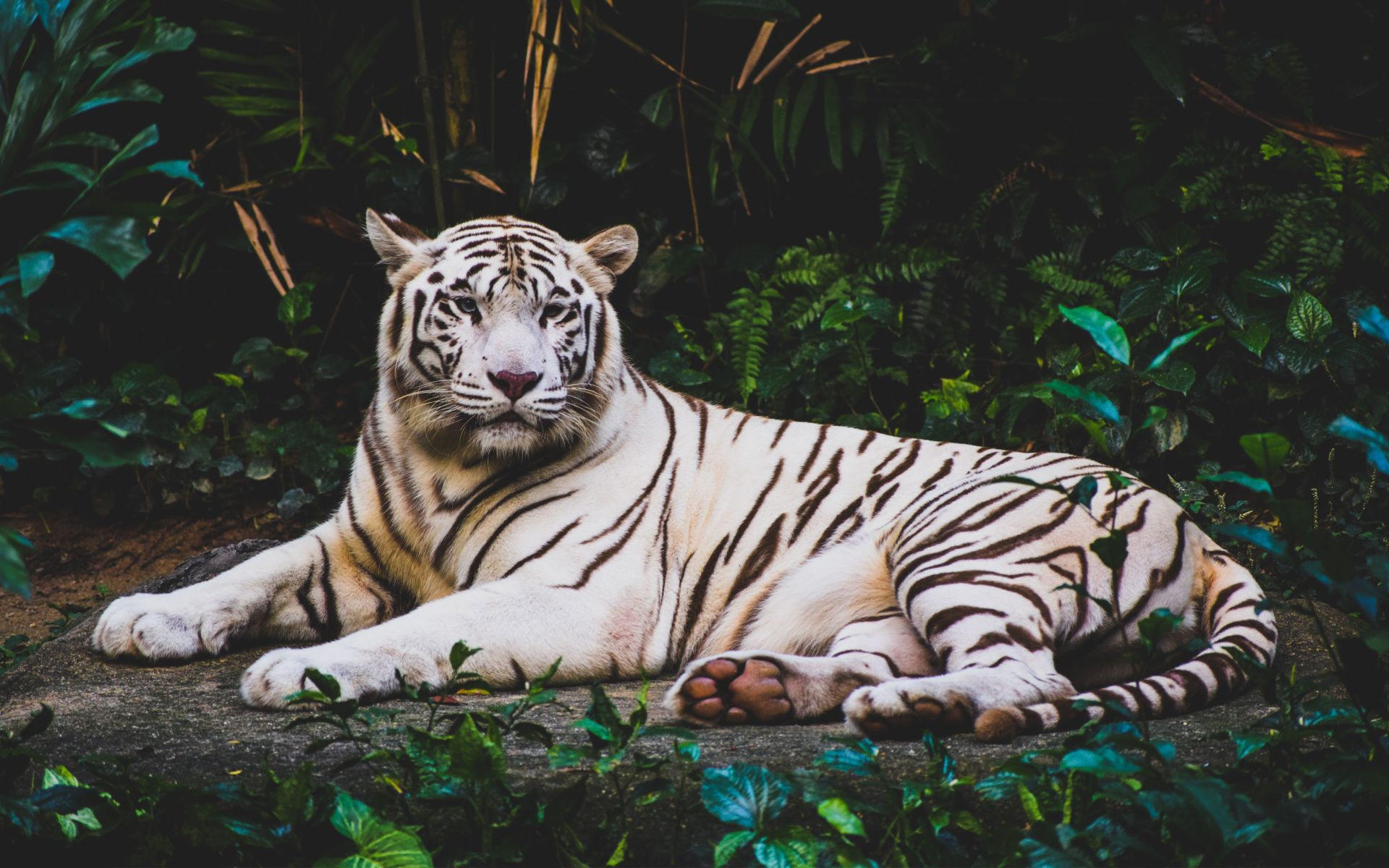 Beautiful white tiger resting on the grass HD Desktop Wallpaper