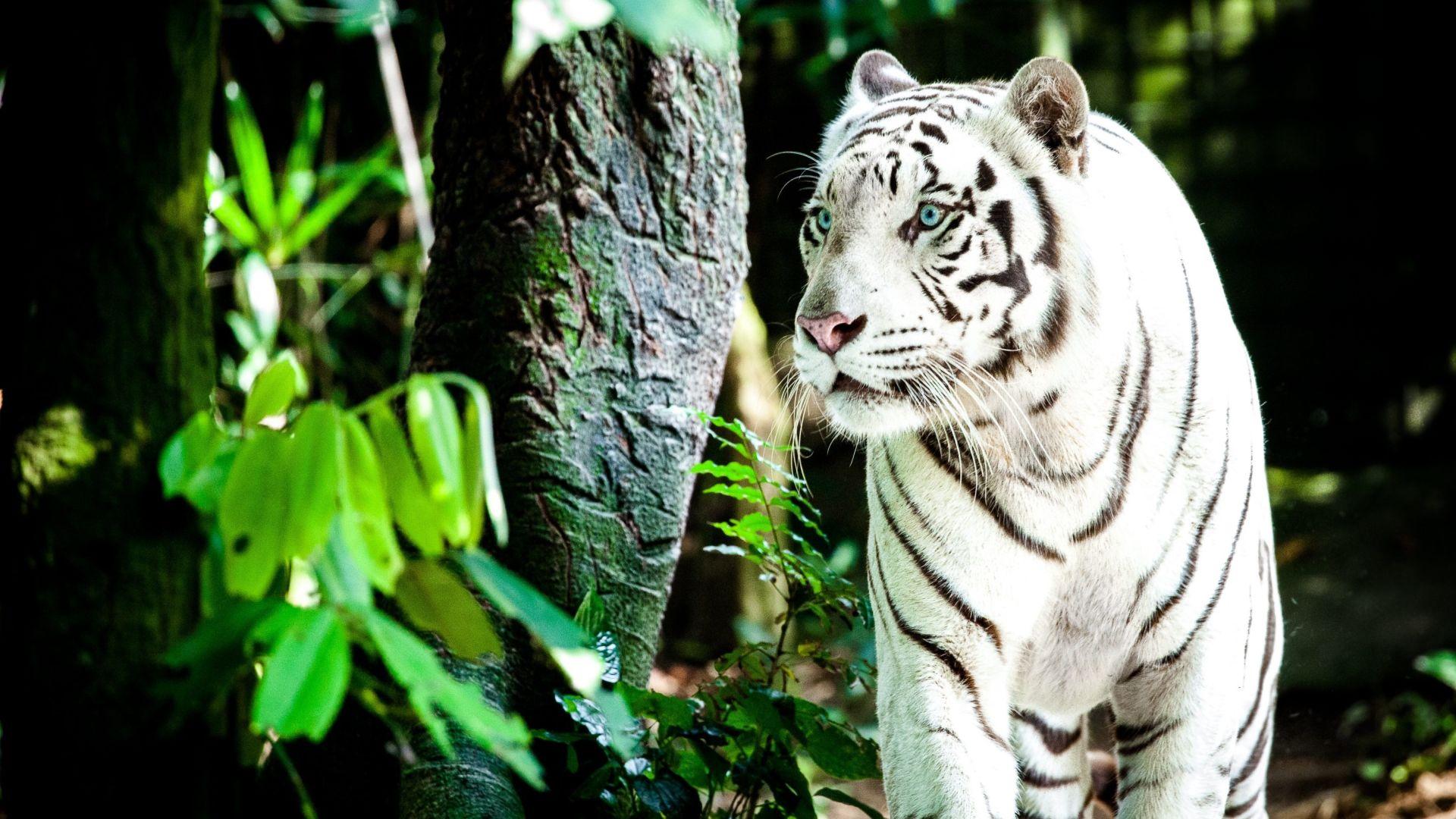 White Tiger, Free Download Wallpaper