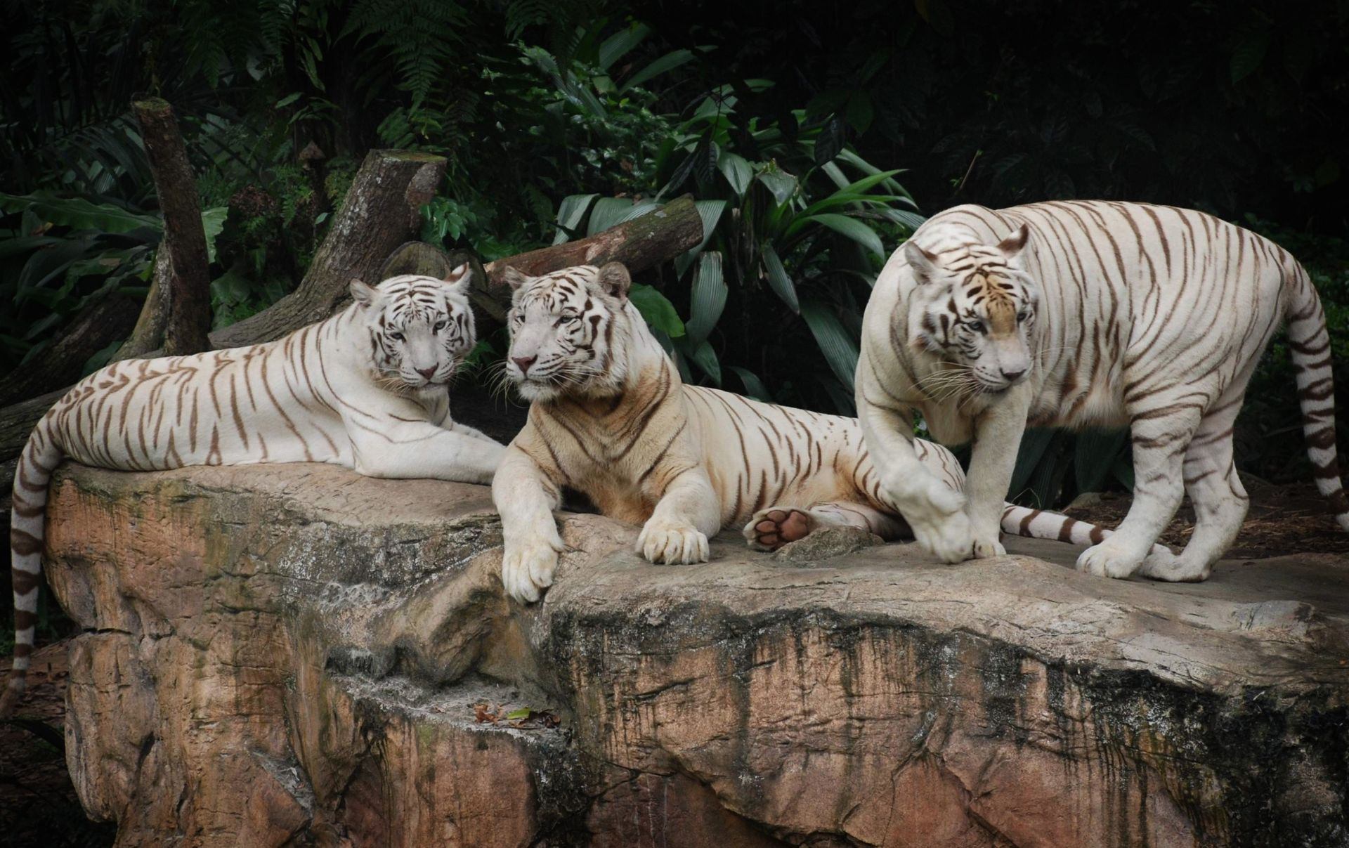 Three tigers are resting on the stone, Free Wallpaper and Background