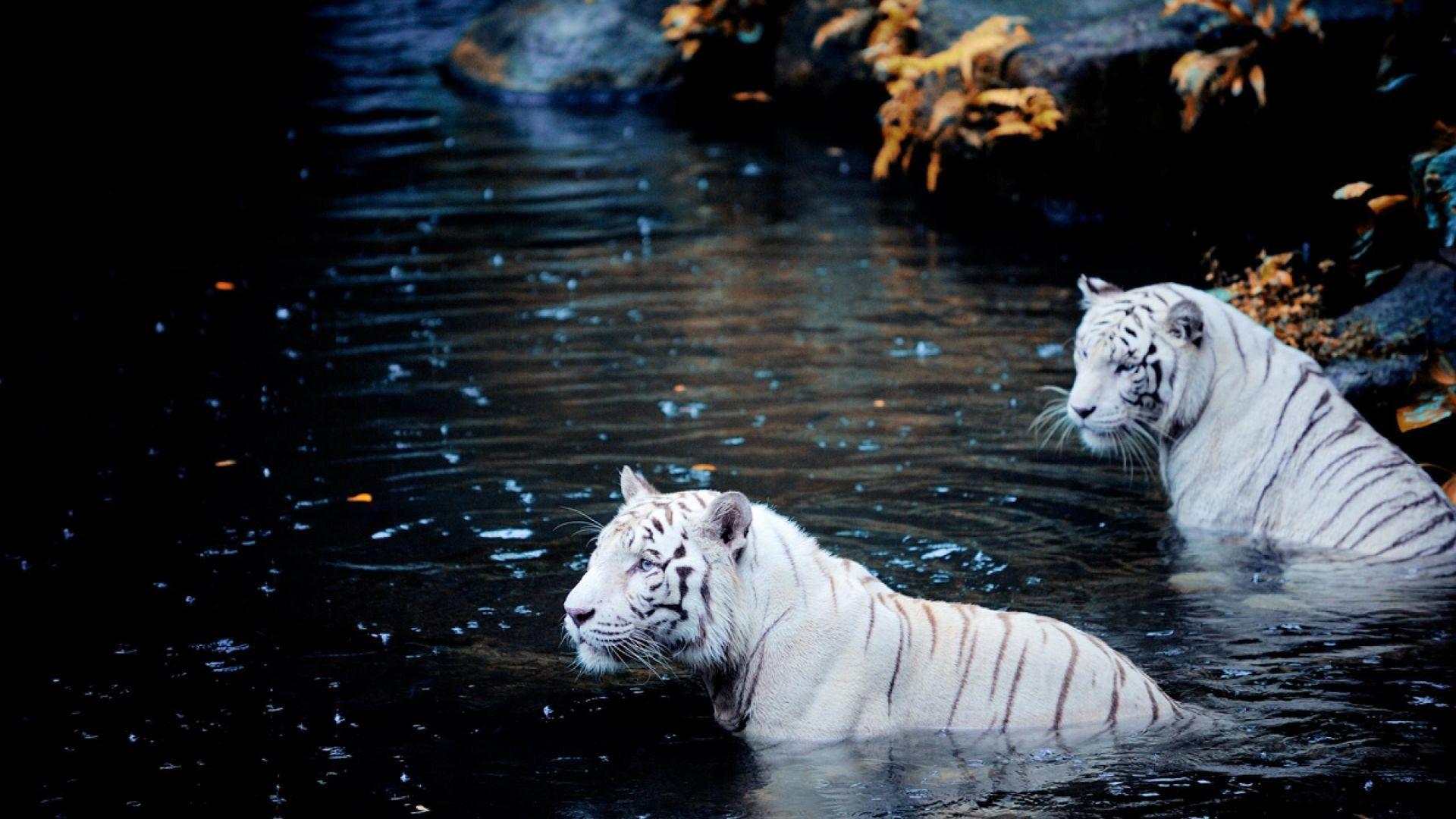 White Tiger swiming, Cool HD Wallpaper