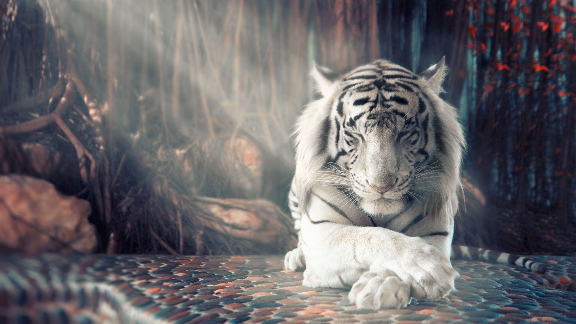 White tiger sleeps legs folded, Full HD Wallpaper