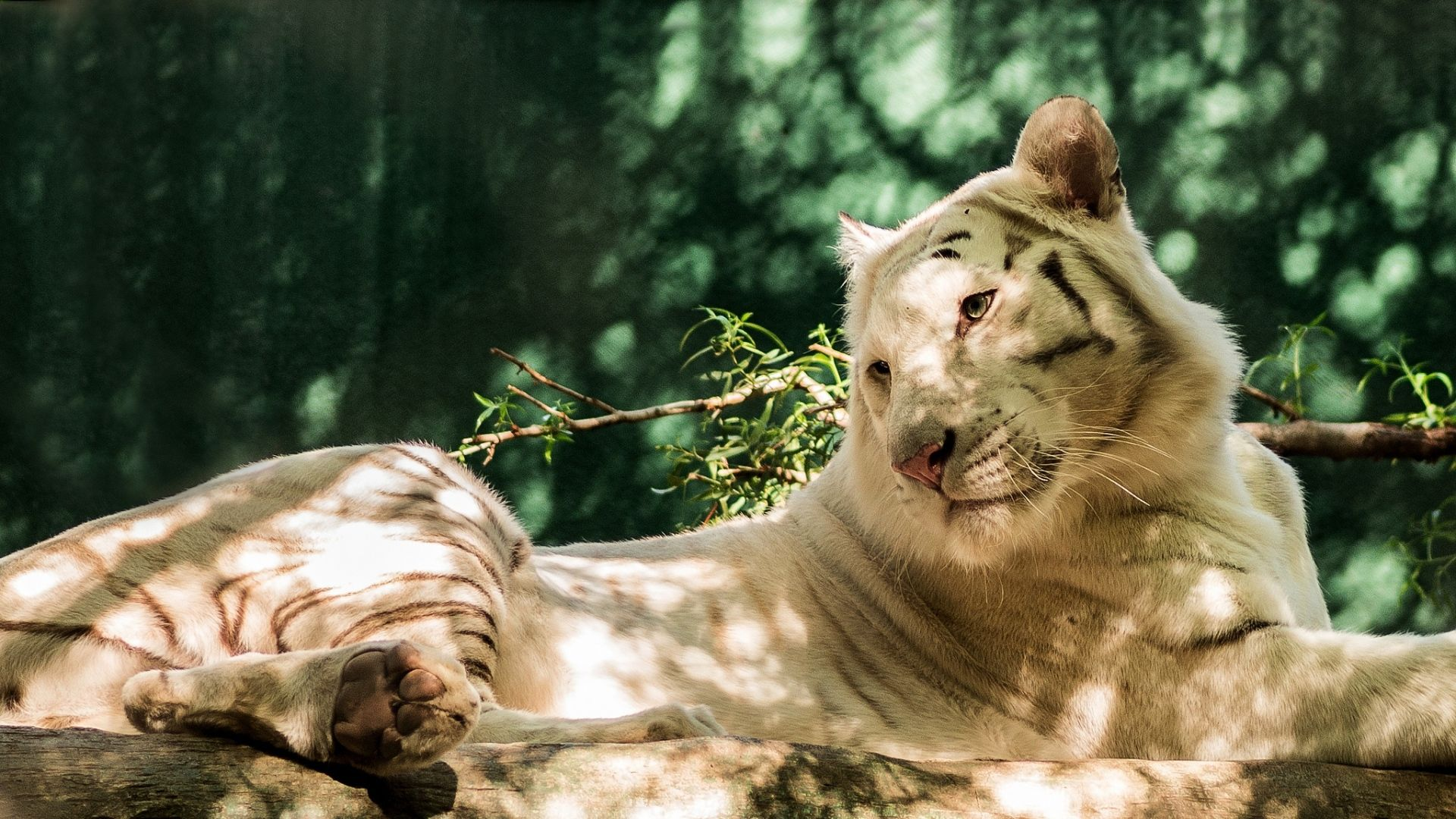 White tiger thought about life, HD Wallpaper 1080