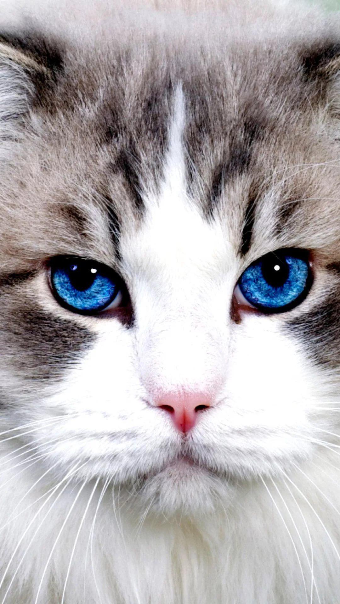 Beautiful Cat iPhone 7 plus wallpaper