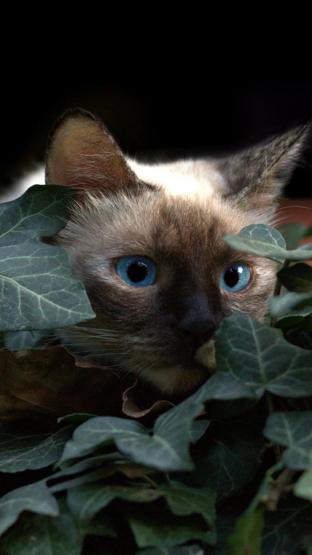 Beautiful Cat iPhone xs wallpaper download