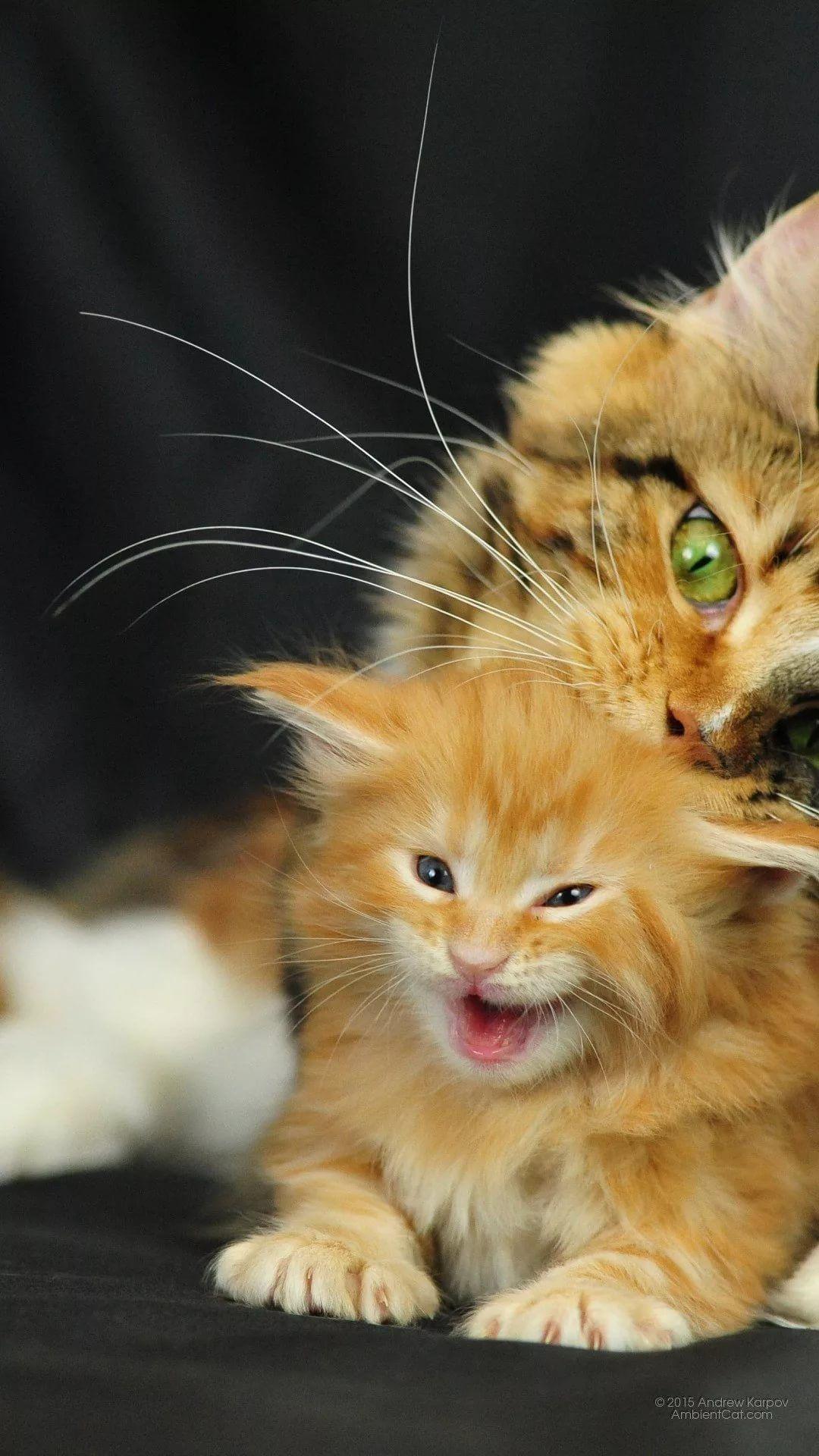 Beautiful Cat Apple iPhone wallpaper