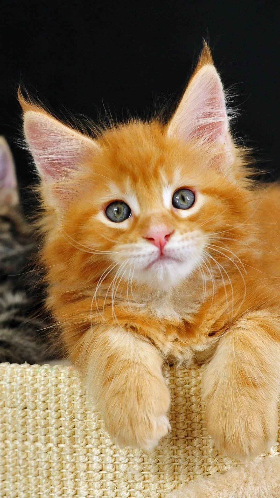 Beautiful Cat iPhone 7 plus wallpaper hd