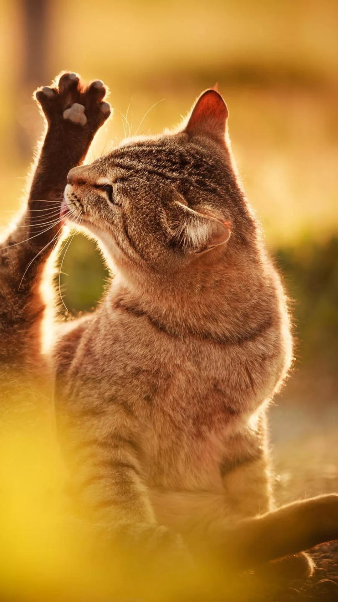 Beautiful Cat hd wallpaper for iPhone 7