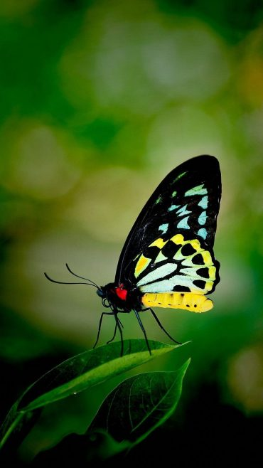 Butterfly HD wallpaper for mobile