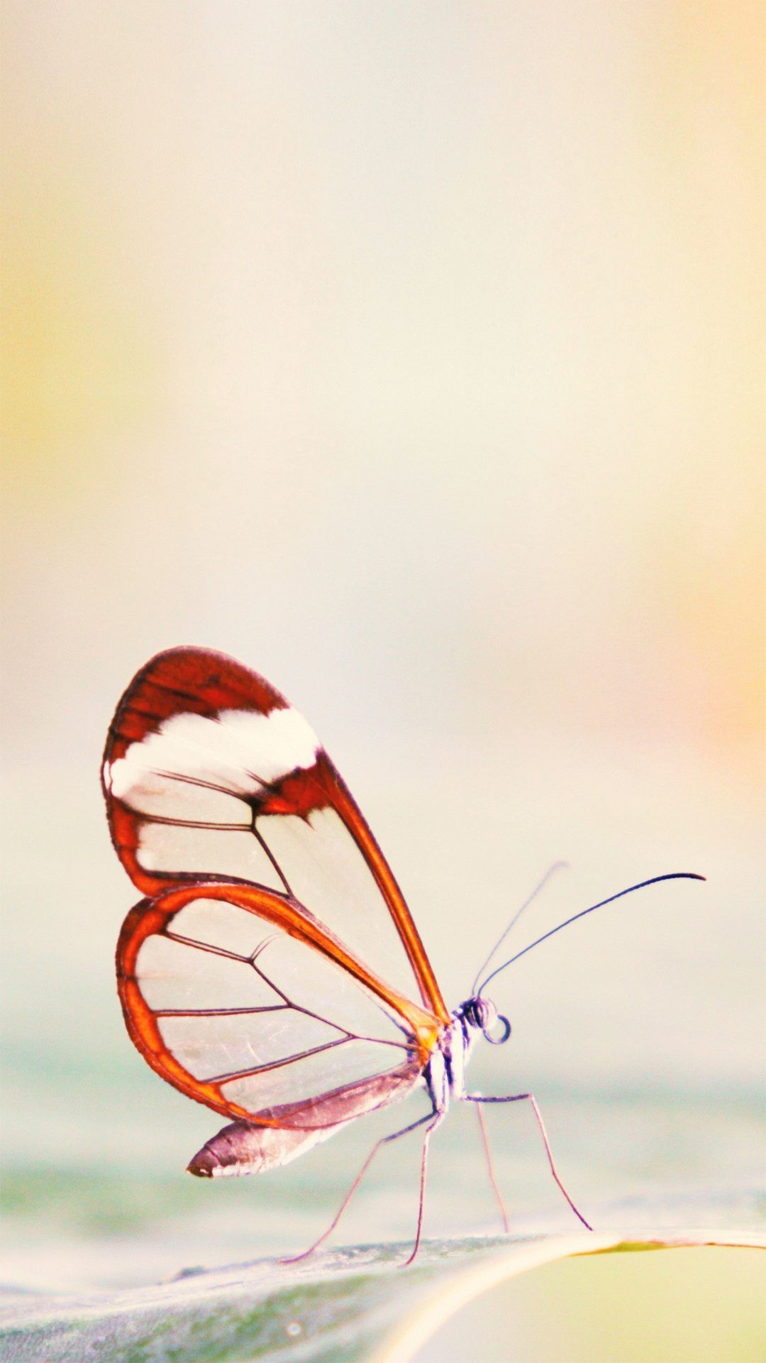 Butterfly hd wallpaper for Android