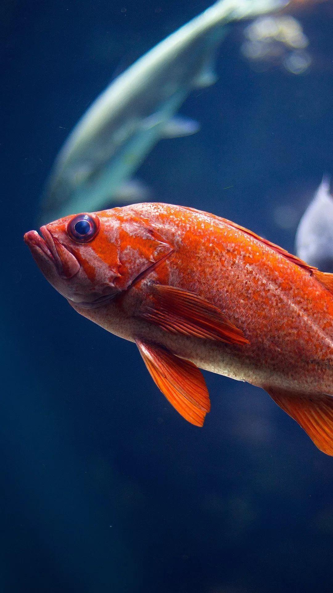 Fish iPhone Wallpaper HD