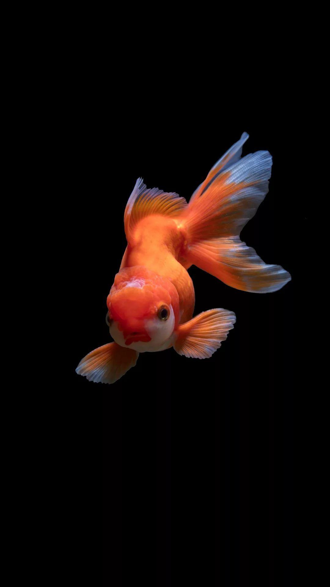 Fish iPhone 6 plus wallpaper