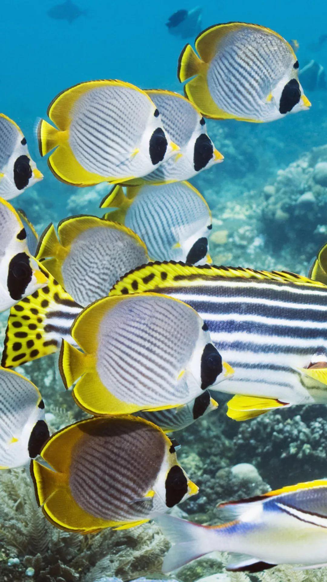 Free Tropical Fish iPhone 6 plus wallpaper