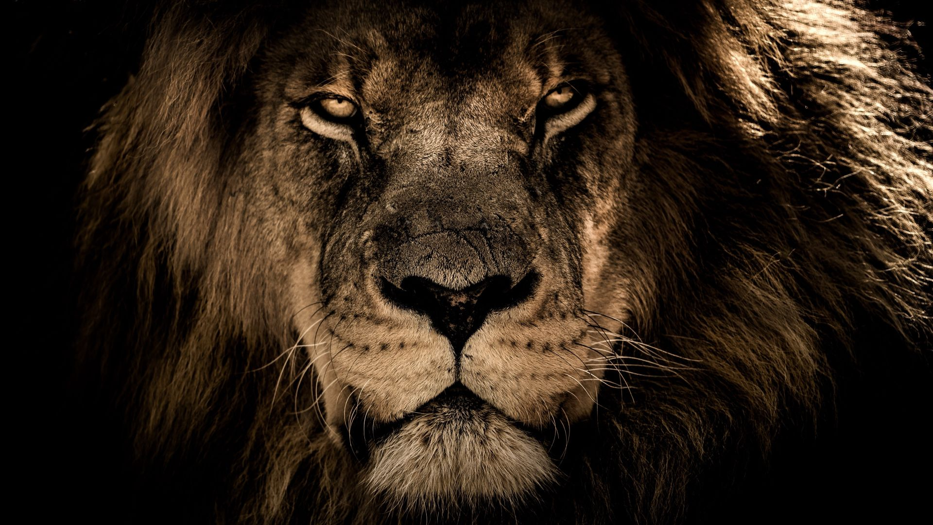 Lion Animal wallpaper and themes