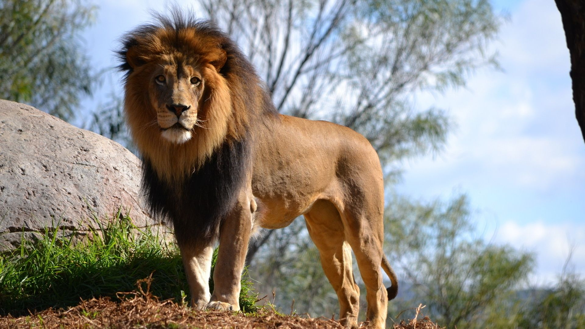 Lion Animal Picture