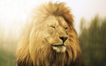 Lion Animal Nice Wallpaper