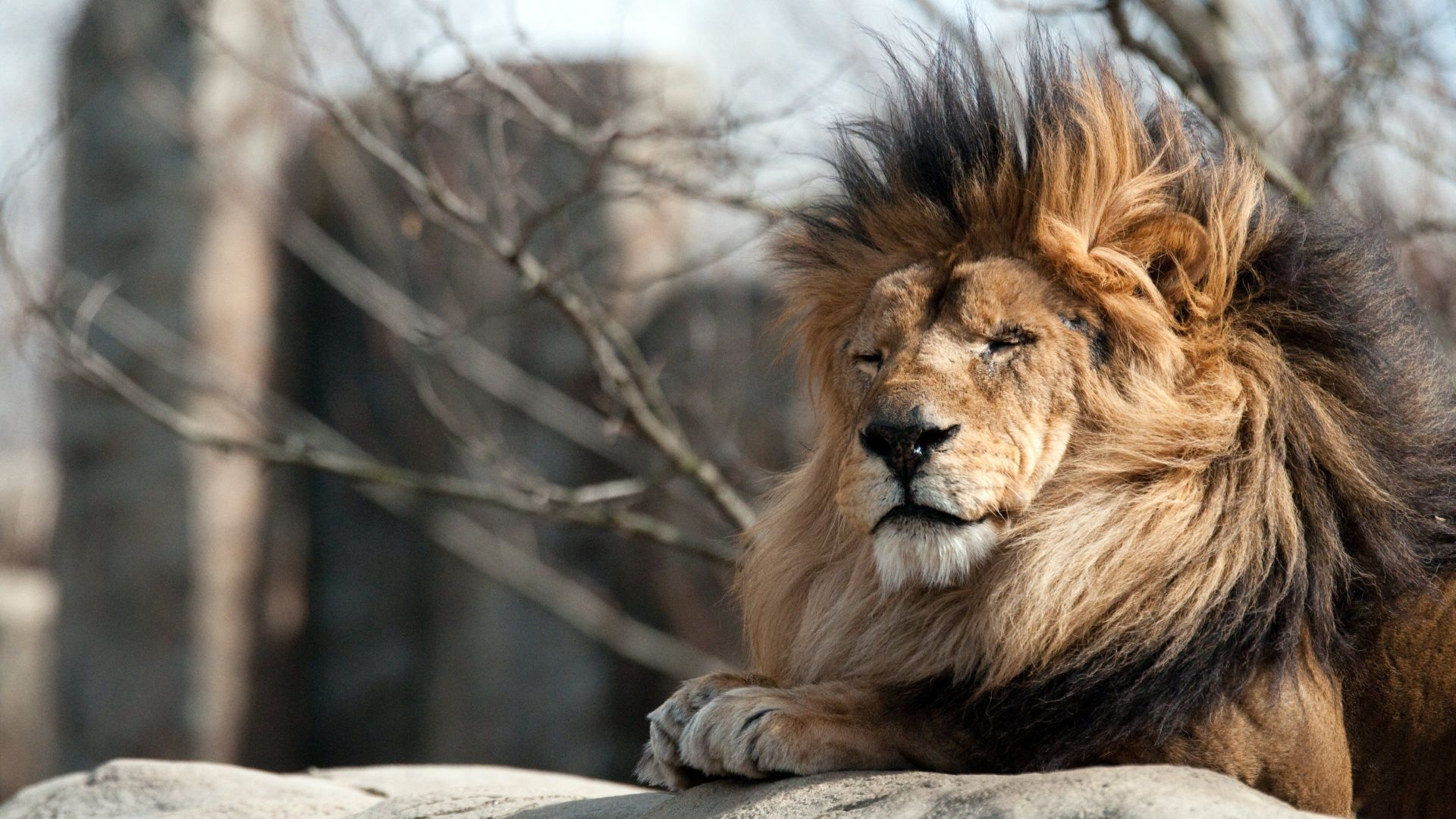 Lion Animal Background Wallpaper HD