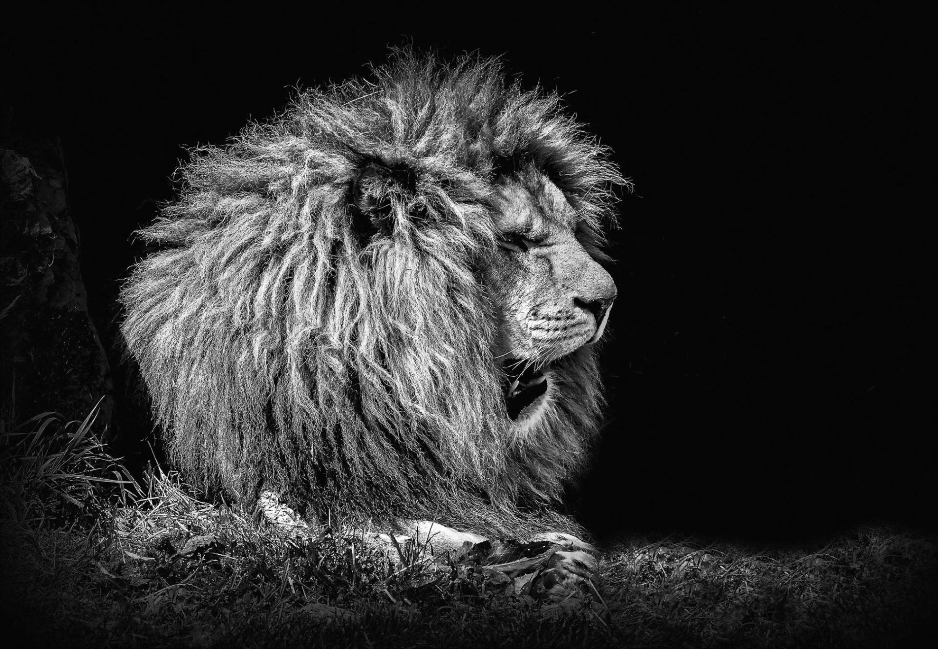 Lion Black And White Animal Picture