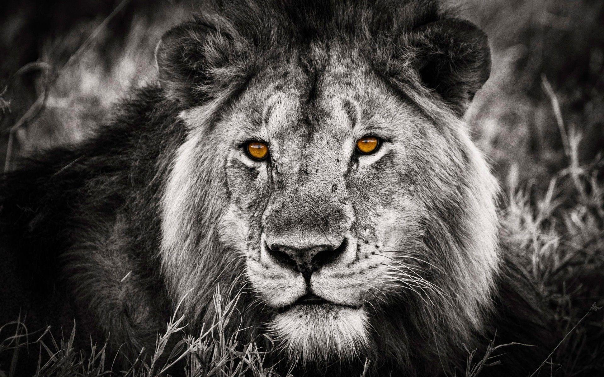 Lion Black And White Animal download nice wallpaper
