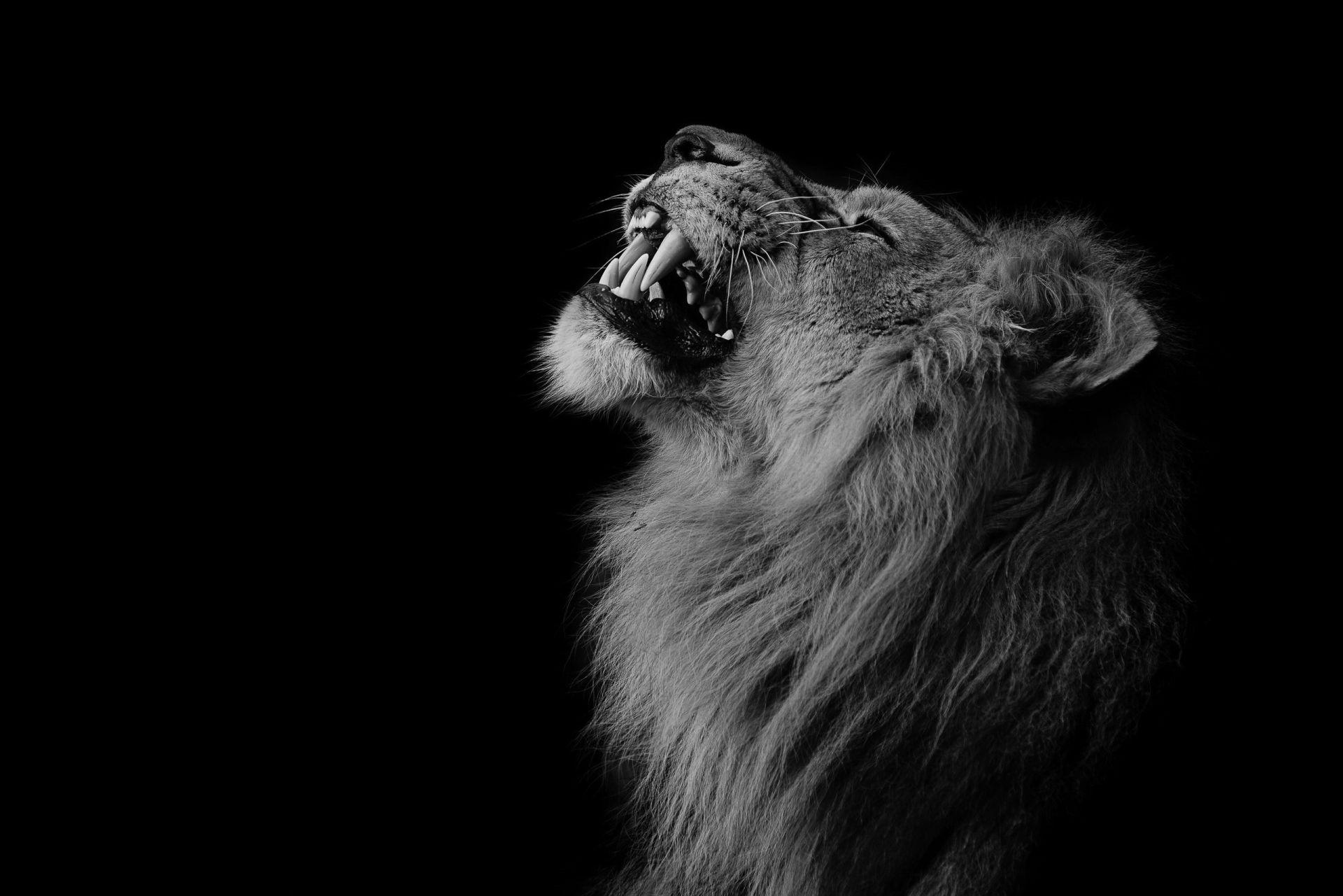 Lion Black And White Animal wallpaper photo full hd
