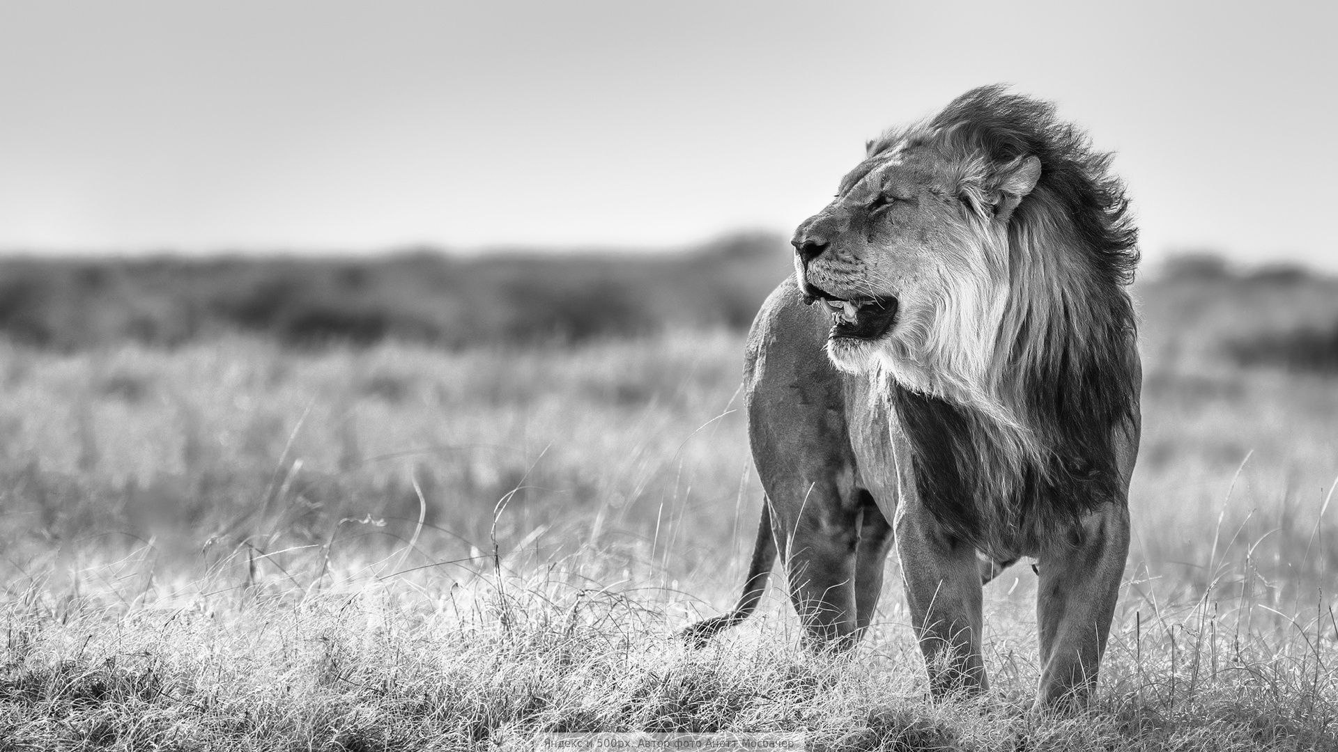 Lion Black And White Animal Wallpaper Picture