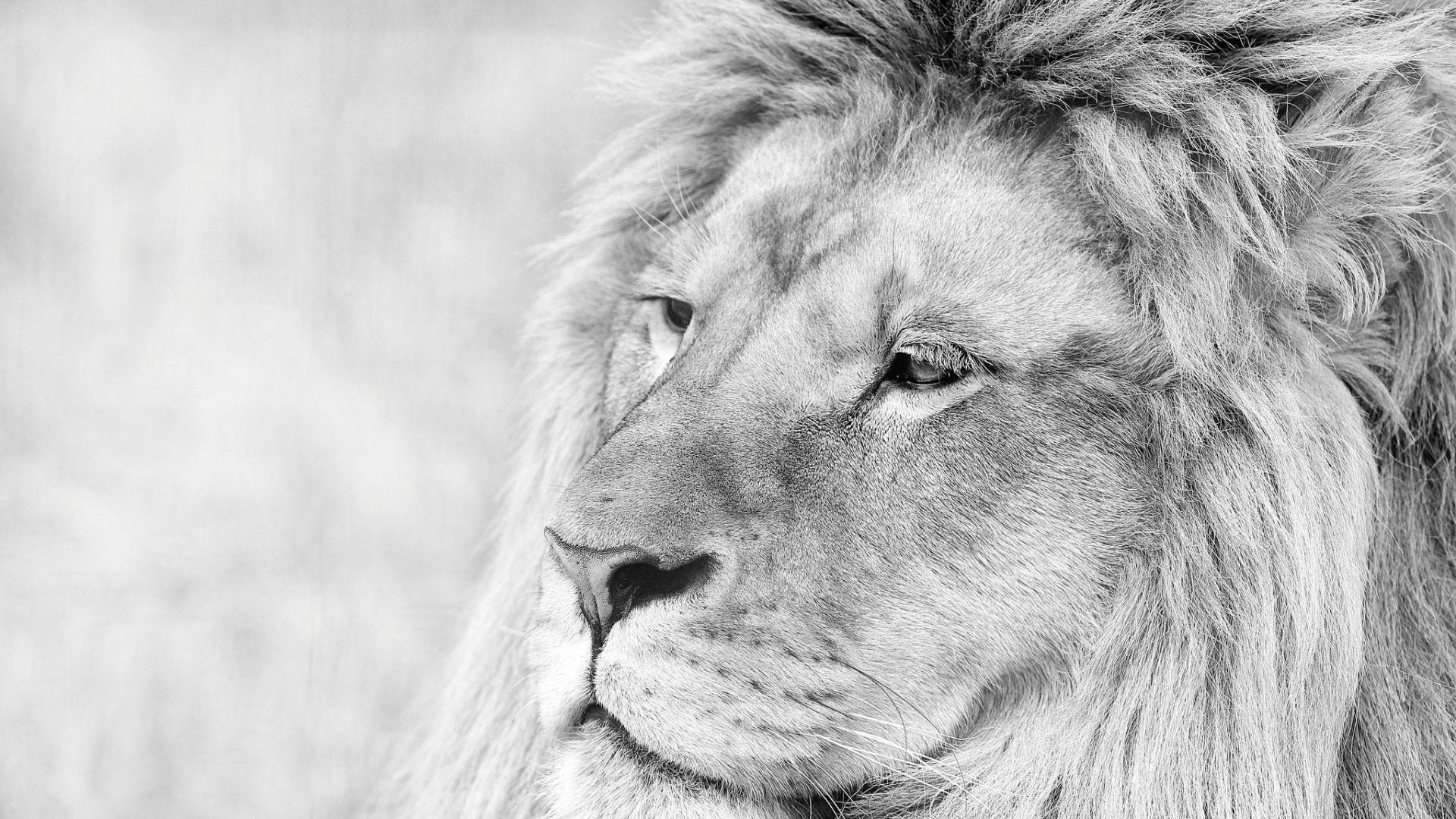 Lion Black And White Animal full wallpaper