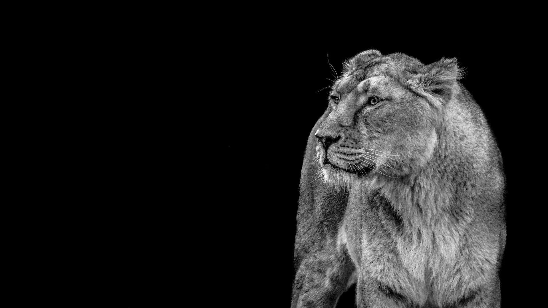 Lion Black And White Animal Wallpaper