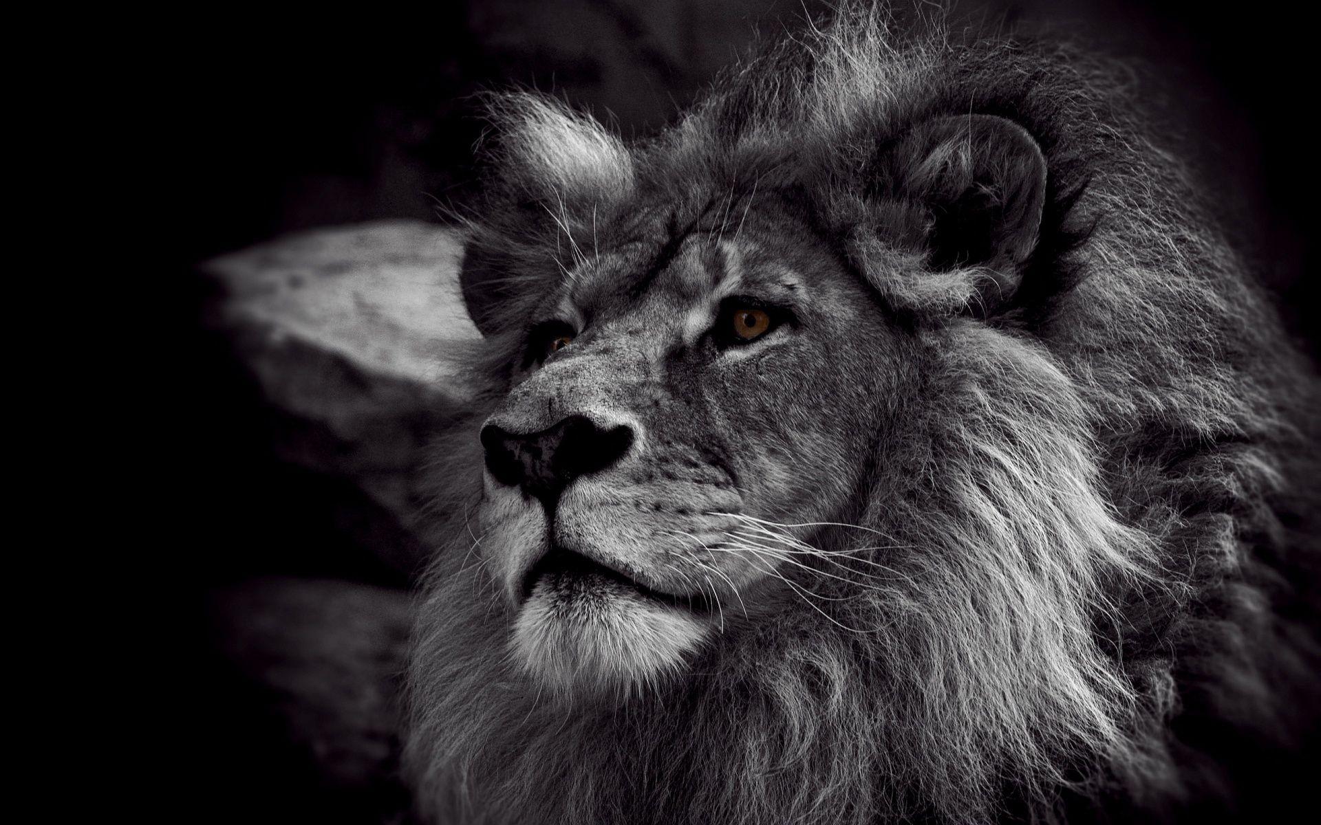 Lion Black And White Animal best Wallpaper