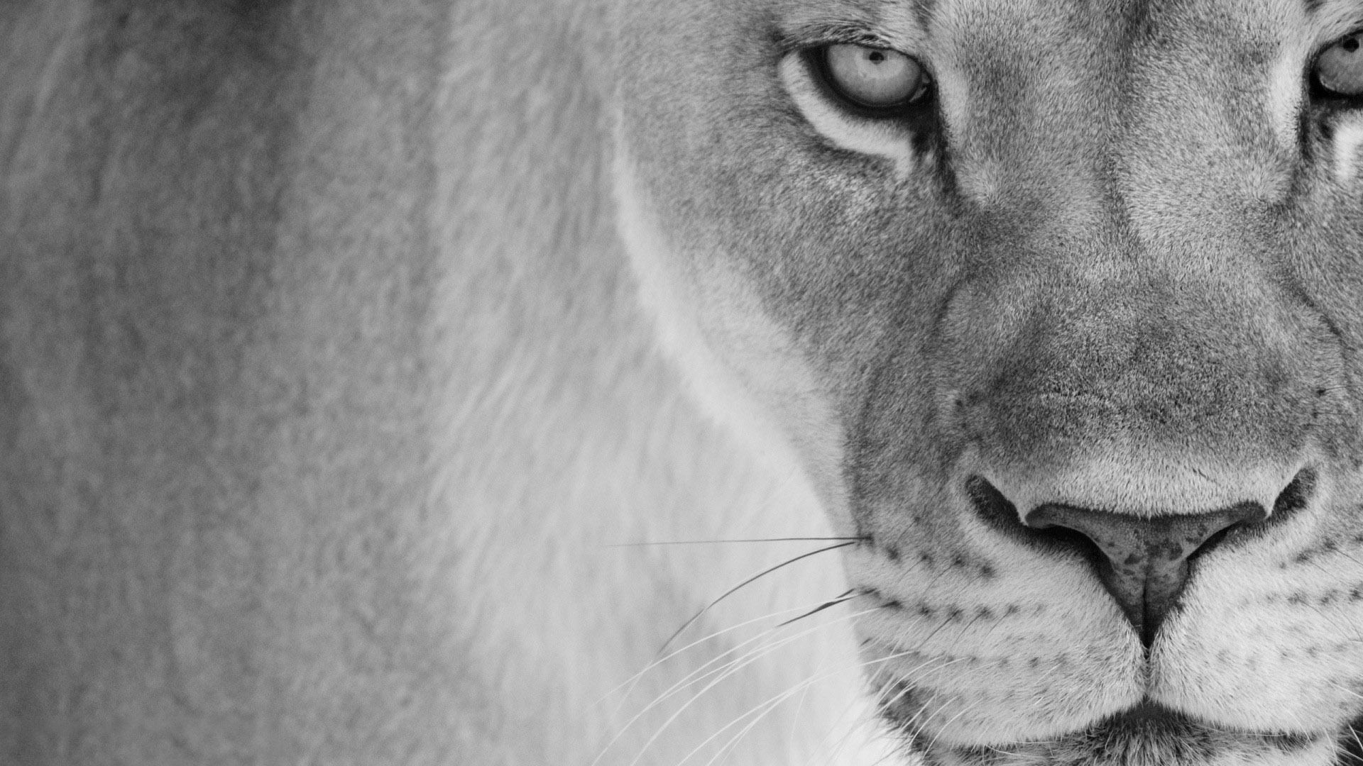Lion Black And White Animal wallpaper and themes