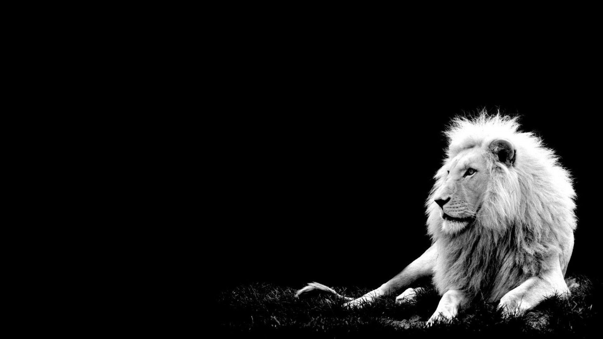 Lion Black And White Animal Free Wallpaper