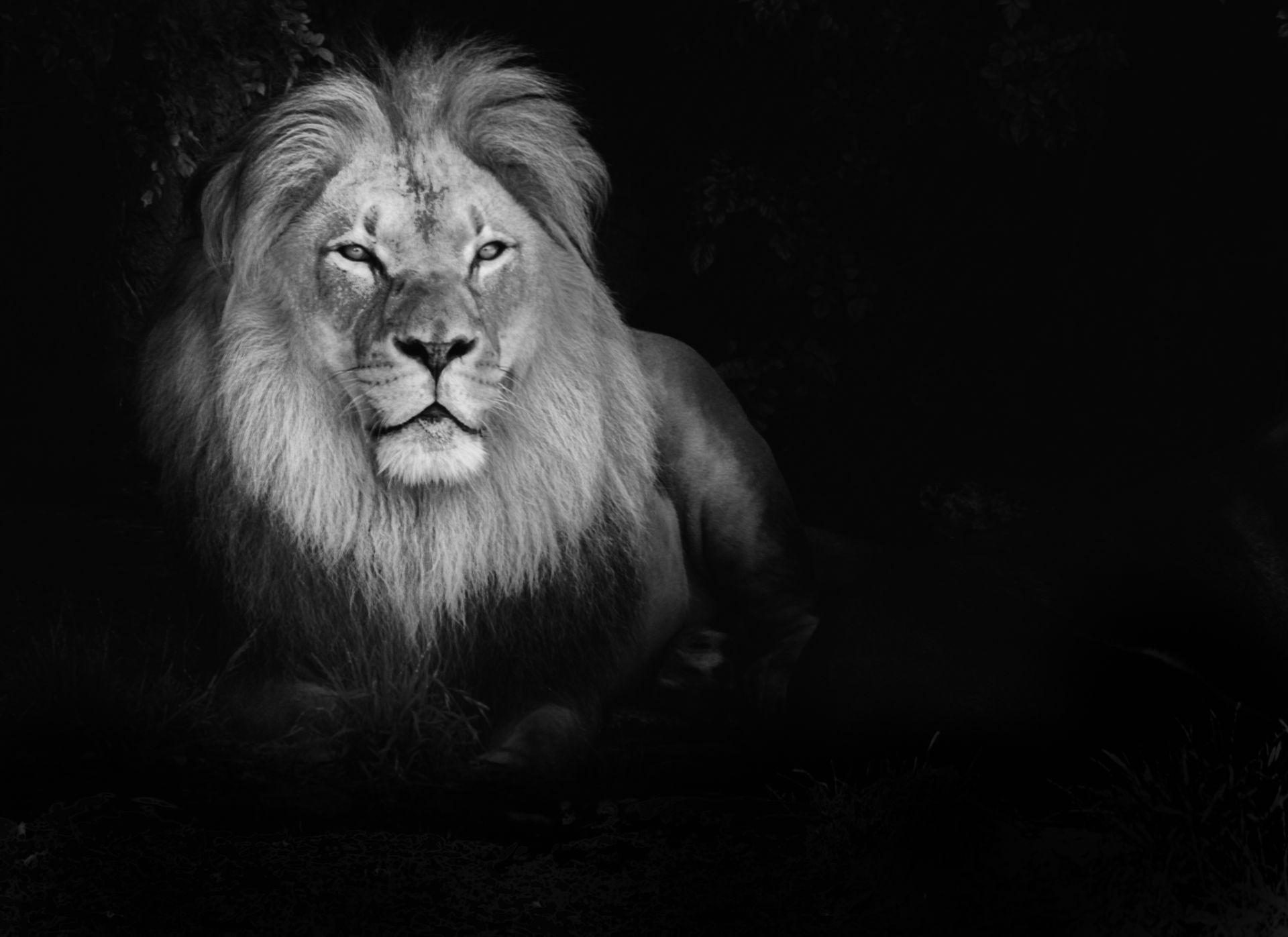 Lion Black And White Animal full hd 1080p wallpaper